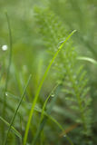 Dew drop on grass Stock Photography