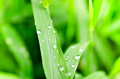 Dew drop on grass. Drop of dew on the green grass Royalty Free Stock Photography