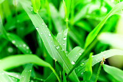 Dew drop on grass. Drop of dew on the green grass Royalty Free Stock Images