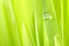 Dew Drop on Green Grass Macro Stock Image