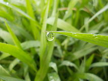 Dew drop. On a green grass in the morning Stock Image