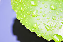 Dew drop on green leaf. Dew drop on lotus leaf Royalty Free Stock Photography