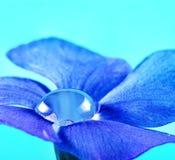 Dew drop inside flower. Dew drop inside blue periwinkle flower Royalty Free Stock Images
