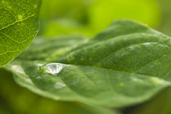 Dew drop on leaf. Macro of single dew drop on green leaf Royalty Free Stock Image