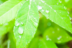 Dew drop and  leaf background,blur background,green background Royalty Free Stock Image