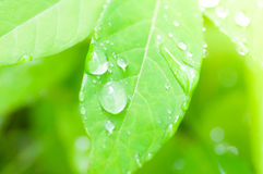 Dew drop and  leaf background Royalty Free Stock Photography