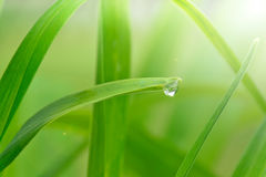 Dew drop on a leaf. Eco background with dew drop shines in the sun light Stock Photos