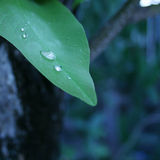 Dew drop from leaf in morning,closed at leaf and dew Royalty Free Stock Photography