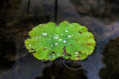 Dew drop. On lotus leaf in the morning Royalty Free Stock Photo