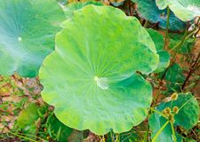Dew Drop on a Green Lotus Leave in the Morning stock photo