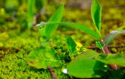 Dew drop in the morning. Dew drop at the tip of a grass in the morning of summer, macro shot of nature, beauty of nature, green scenery, background, small plants Royalty Free Stock Photography