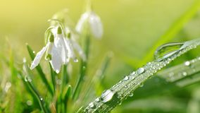 Free Dew Drop On Green Grass And Snowdrop Flowers On Meadow. Royalty Free Stock Image - 111077066