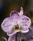 Dew drop orchid. White and purple orchid with dew drops Stock Photography