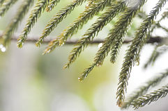 Dew drop on pine leaf. Dew drop on the pine leaf Stock Photo