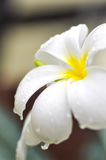 Dew drop on plumeria  or pagoda tree in blur background Royalty Free Stock Photo