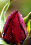 Dew drop on a rose. A dew drop close up on a rose Stock Photo