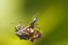 Dew drop spider (Argyrodes antipodianus) Stock Image