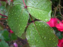 Dew drop. On the top of leafs Royalty Free Stock Image