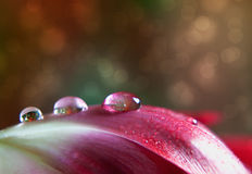 Dew Drop on Tulip. Dew Drop on red Tulip flower leaf close up stock images