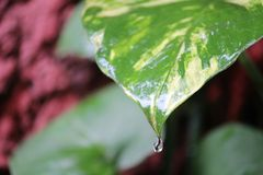 Dew Drop of water. Drop of water falling from green leaf Royalty Free Stock Photography