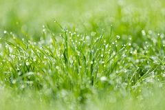 Dew droplets on grass Stock Image