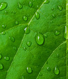 Dew droplets. On green leaves Royalty Free Stock Photos