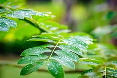 Dew droplets on green leaves, water drops after rain Green leaf. For background royalty free stock photo