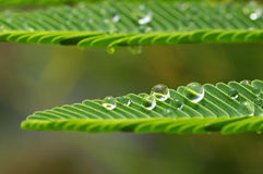 Dew droplets on the mimosa leafs Royalty Free Stock Photo