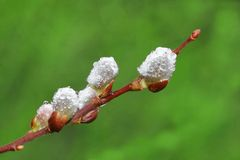 Free Dew Droplets On Pussy Willow Royalty Free Stock Photography - 2149687