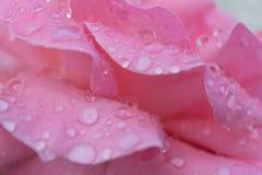 Dew droplets on rose petals macro Stock Photos