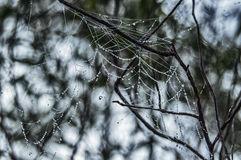 Dew droplets on a spider web Royalty Free Stock Photo