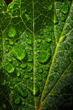 Dew droplets of water on foliage. Raindrops of water on freshness green foliage. Macro shot Stock Photography