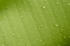 Dew drops. Water droplets on a banana leaf Royalty Free Stock Photos