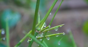 Dew  drops on bamboo branches   in morning. Dew drops on bamboo branches   in morning fresh nature  enviroment background Royalty Free Stock Photography