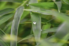 Dew drops on bamboo leaves in the morning stock image