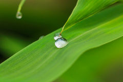 Dew drops on bamboo leaves Stock Images