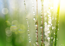 Dew drops on barley ear close up. Royalty Free Stock Photography