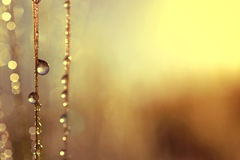 Dew drops on barley ear at sunrise Stock Photography