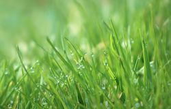 Dew drops on blades of grass. Close up of dew drops on green blades of grass with bokeh copy space stock images