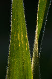 Dew drops on blades of grass. Detail of Dew drops on blades of grass Stock Images