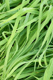 Dew drops on blades of grass. Detail of Dew drops on blades of grass Stock Photos