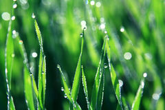 Dew drops on blades of grass Royalty Free Stock Image