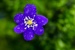 Dew drops on blue flower. Closeup of Common hepatica with dew drops stock images