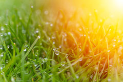Dew drops on bright green grass with sun flare Royalty Free Stock Images