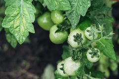 Bunch of tomatoes green Royalty Free Stock Photography