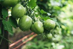 Bunch of tomatoes green Stock Image