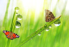 Dew drops and butterflies Stock Photos