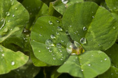 Dew drops on Clover Stock Photo