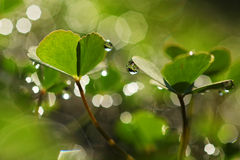 Dew drops on clover leaves royalty free stock photography