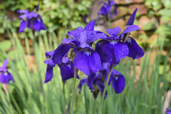 Dew Drops on a Cluster of Blooming Purple Iris Flowers Stock Photography